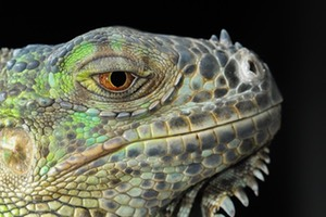 Lizards are also very much like dragons